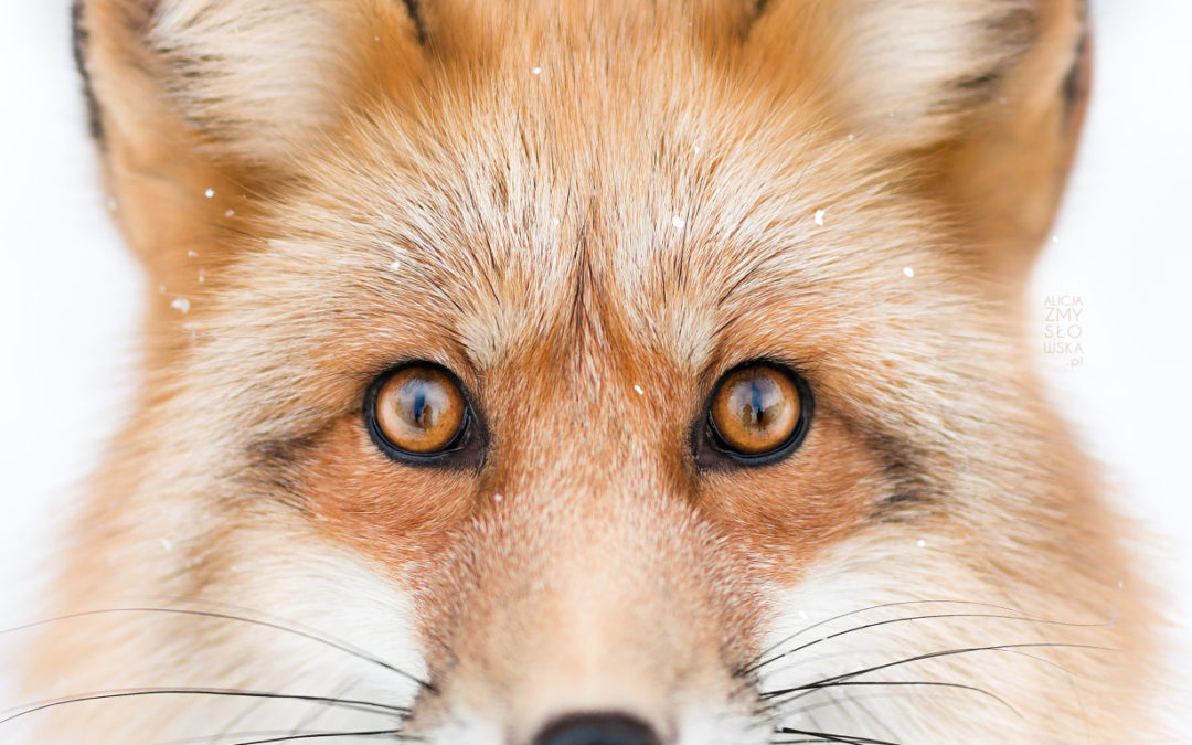 Photo shooting with a… FOX!